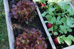Salat und Radischien