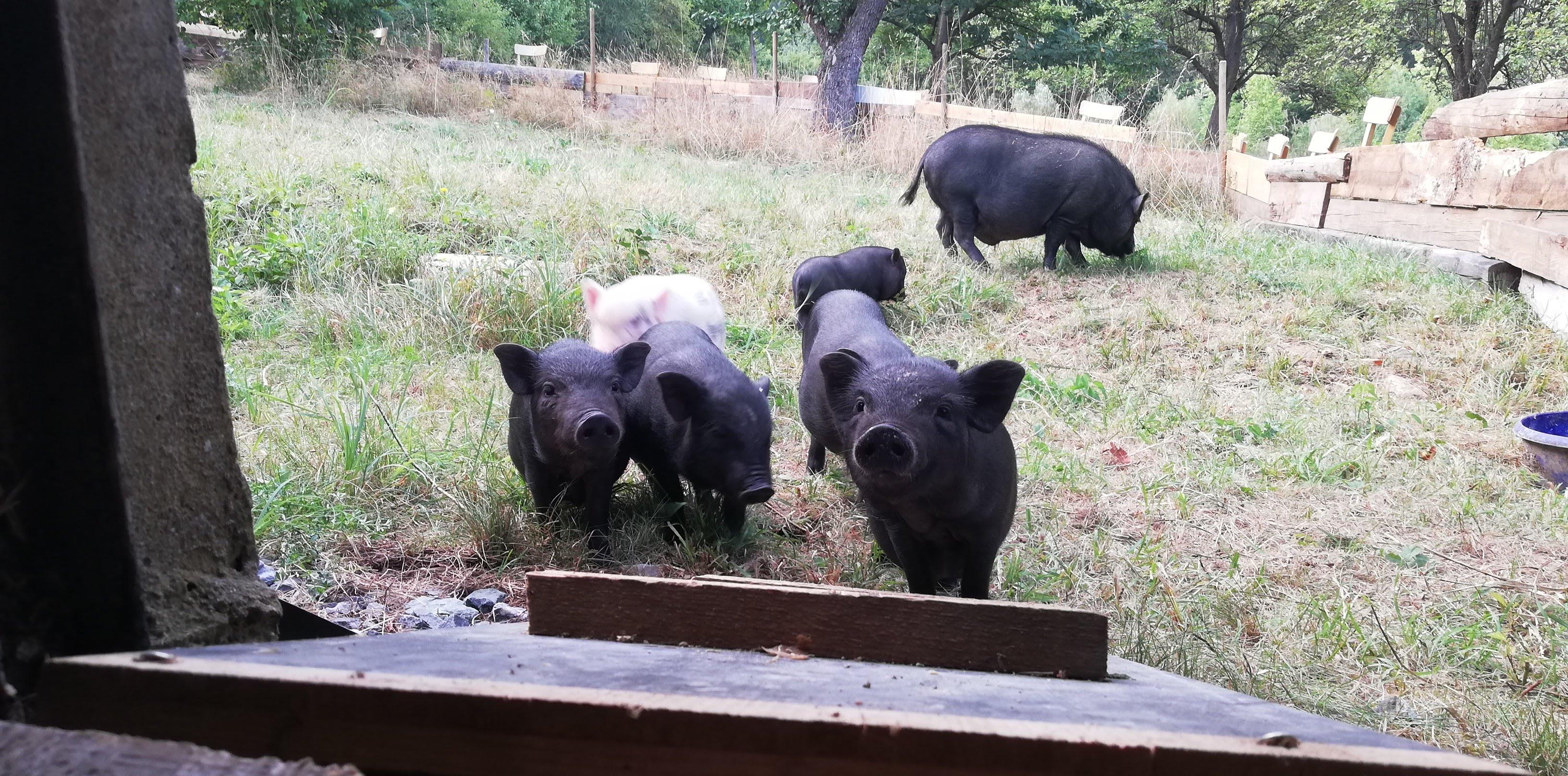 Mini-Hängebauchschweine